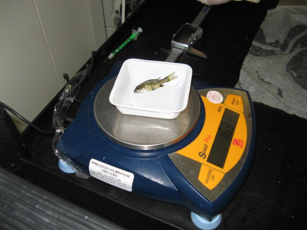 weighing-bass